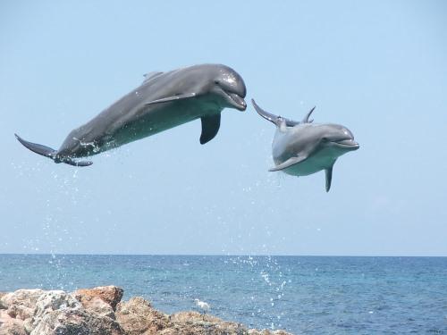 Bottlenose Dolfijn