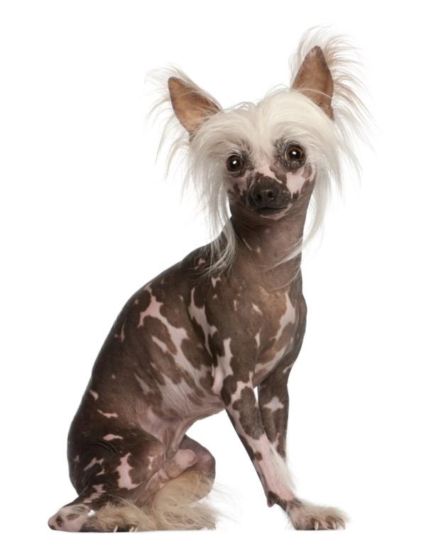 top 10 vreemde hondenrassen   alletop10lijstjes