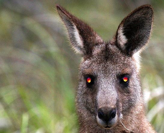 Evil-Kangaroo