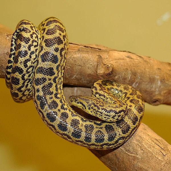 Gele Anaconda