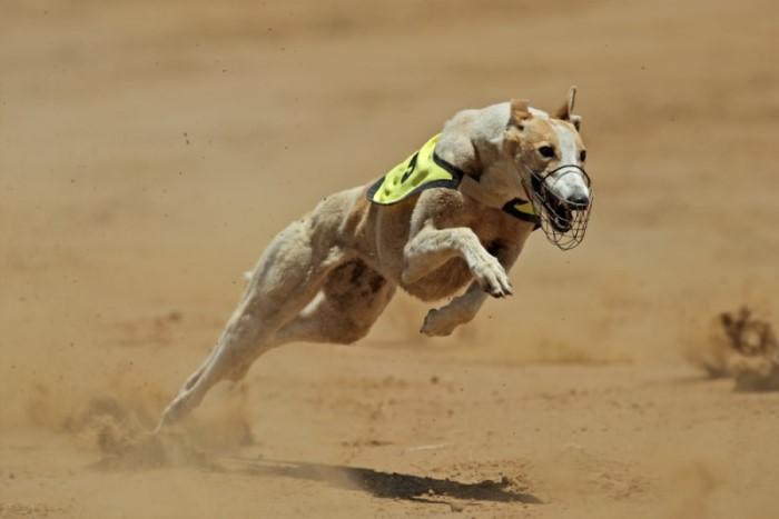 Het snelste hondenras is de hazewindhond greyhound dit type hond is