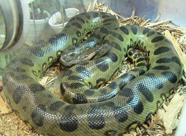 Groene Anaconda