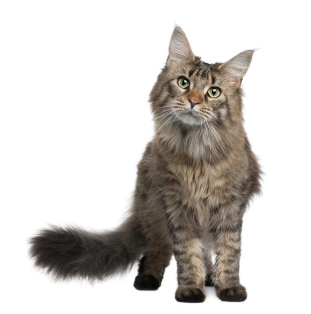 top 10 populairste kattenrassen alletop10lijstjes. Black Bedroom Furniture Sets. Home Design Ideas