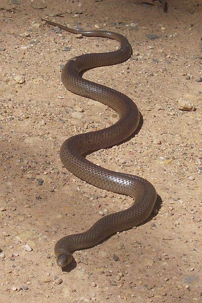 Oosterse bruine slang