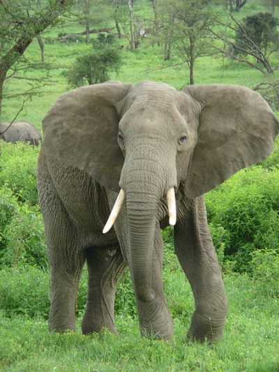 Savanneolifant