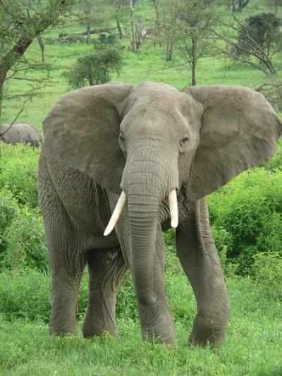 Savanneolifant