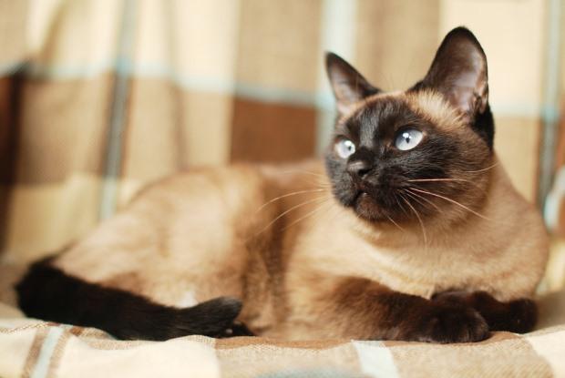 Top 10 populairste kattenrassen alletop10lijstjes - Tafel lang eiland huis van de wereld ...
