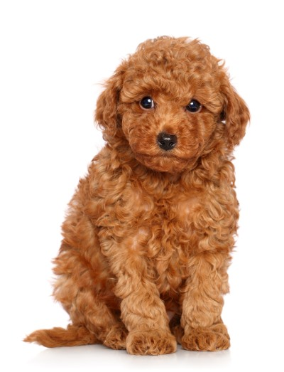 Red Toy Poodle Full Grown Top 10 Kleine Hondenra...