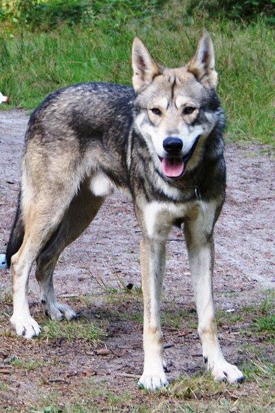 Wolfshond