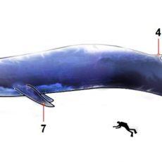 10 Feitjes Over Het Grootste Dier Op Aarde: De Blauwe Vinvis