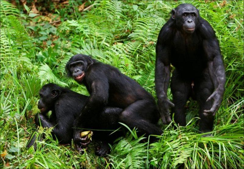 bonobo sex