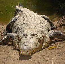 Top 10 Grootste Reptielen ter Wereld