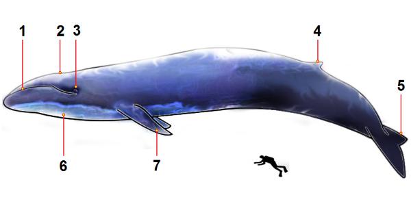 grootte blauwe vinvis