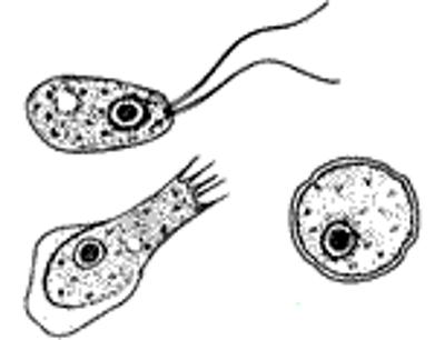 hersenetende amoebe