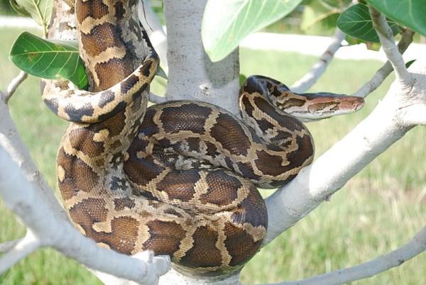 indiase python