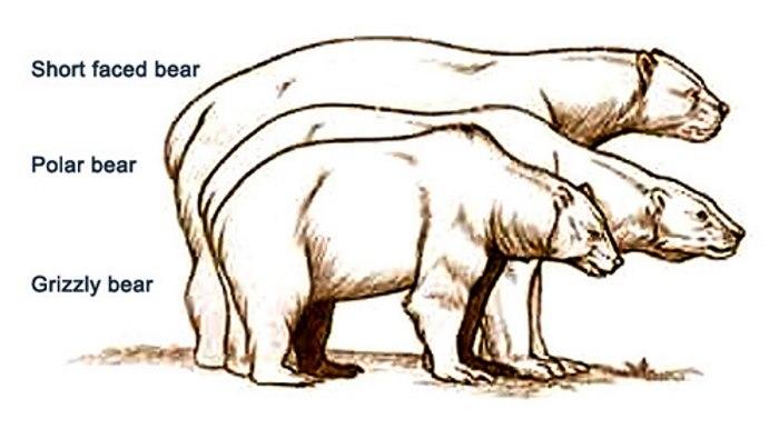 kortsnuitbeer