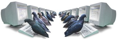 pigeon rank