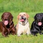 Populairste hondenrassen in Nederland en Belgie