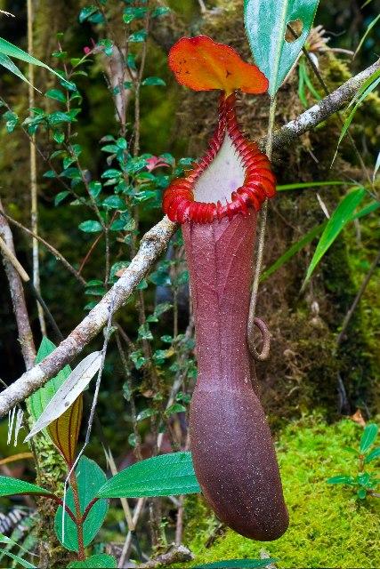 tropische bekerplant