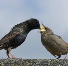 Top 10 Meest Voorkomende Tuinvogels